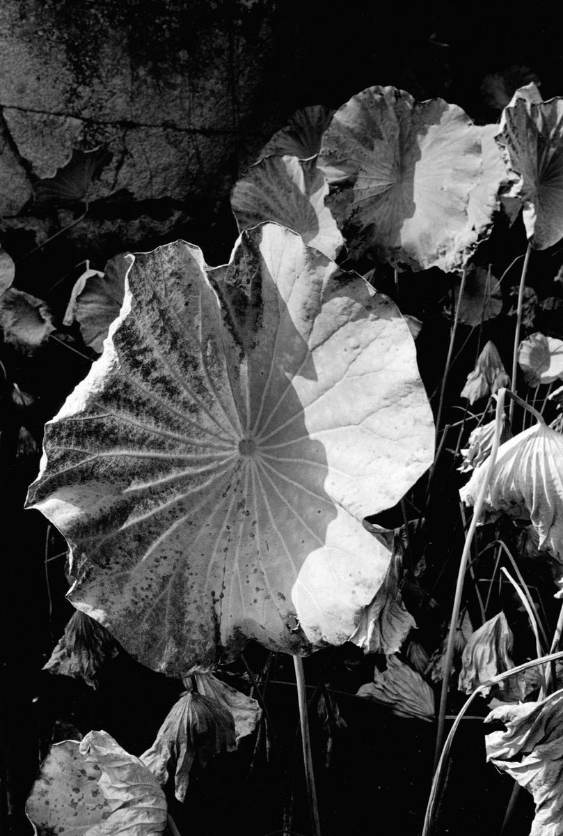 Lotus-en-gros-plan-1