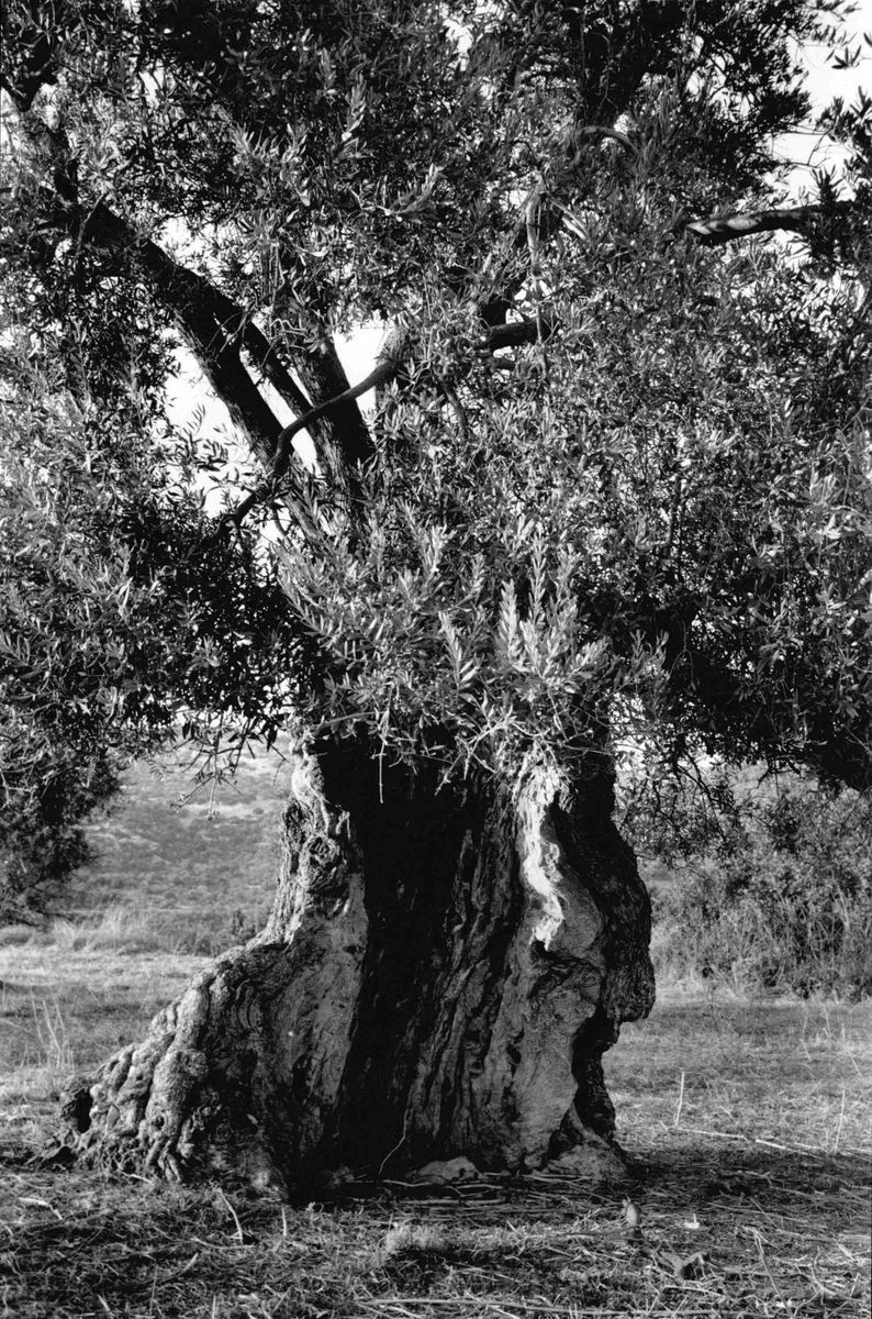 Olivier-Chypre